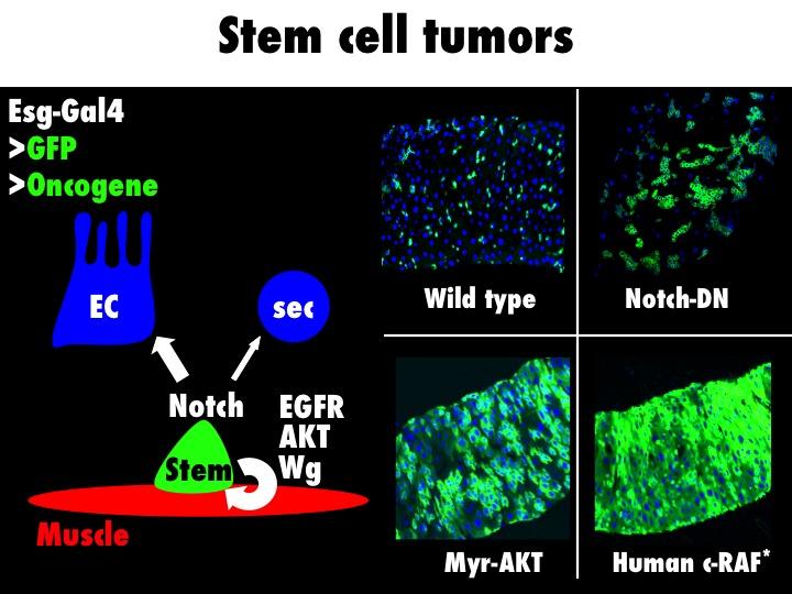 Tumor Models